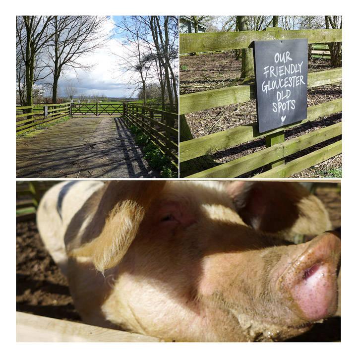 """Søte griser. De lever av grønnsaksrester fra gården. De er gårdens """"søppelbøtter"""""""