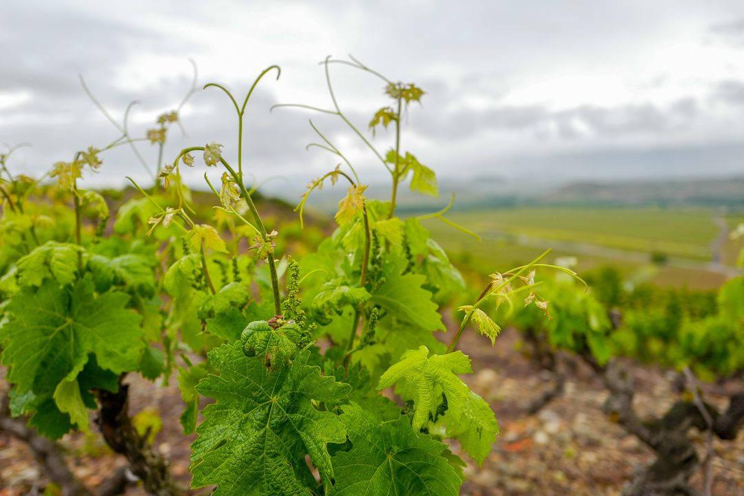 L1450812 1080x720 - Marqués de Cáceres – mye vin for pengene