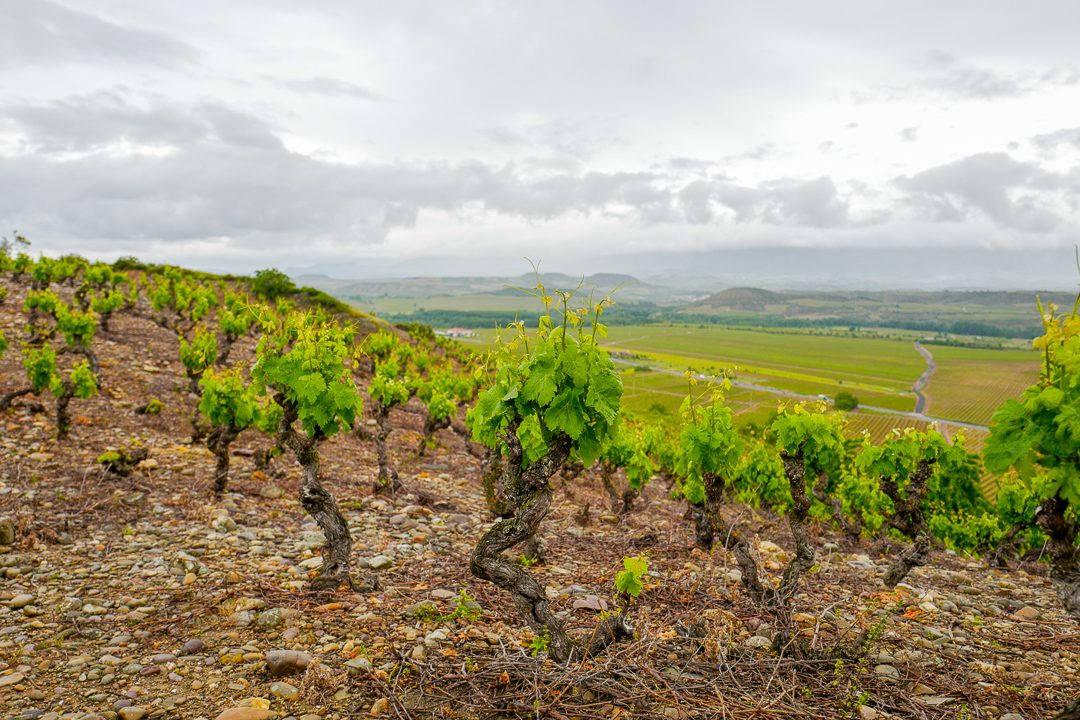 L1450815 1080x720 - Marqués de Cáceres – mye vin for pengene